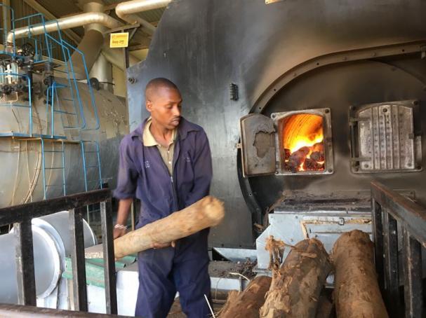 Fem ton eucalyptusved eldas för att producera ett ton te.