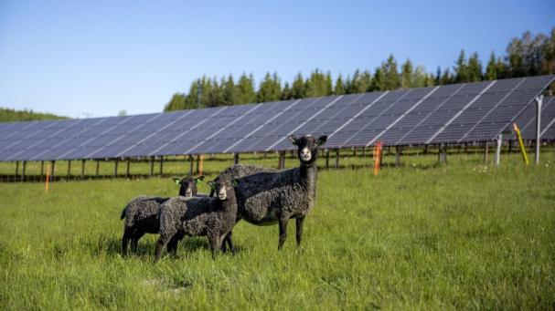 I Solhagen i Torphyttan lever fåren i symbios med solpanelerna.