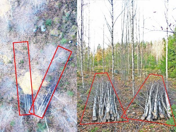 Exempel på korridorer för schablonartad korridorgallring; två korridorer á 2 × 10 m2 utlagda i ett tätt björkbestånd. Vid korridorgallring avverkas träden som står i korridorerna, medan träden utanför korridorerna lämnas att växa vidare.