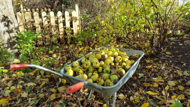 Mellan den 18 augusti och 22 oktober samlar Sysavs återvinningscentraler in fallfrukt som i slutändan förvandlas till biogas och biogödsel.